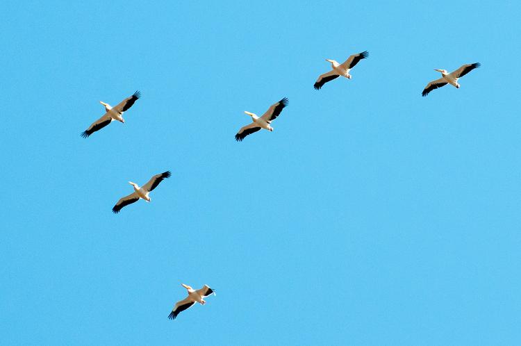 Пеликаны над Старой Збурьевкой